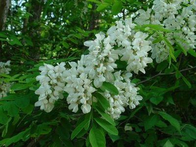 خواص گیاه دارویی گل اقاقيا