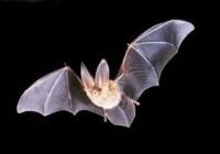 کشف راز بینایی خفاش در شب