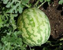 آموزش کاشت هندوانه در باغچه