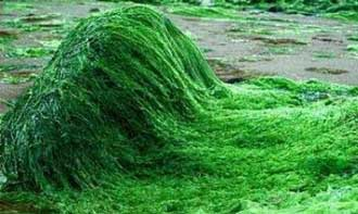 جلبک اسپیرولینا، داروی گیاهی موثر در درمان بیماریها