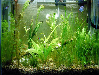 نحوه صحیح نگهداری و رشد گیاهان آکواریومی