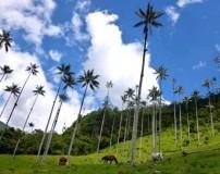 تصاویری از عظیم ترین درخت های نخل دنیا در پارک ملی کلمبیا