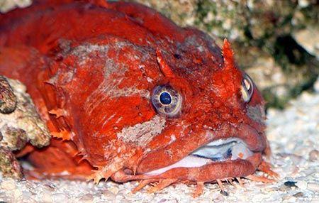 تصاویری از زشت ترین و وحشتناک ترین ماهی های دنیا