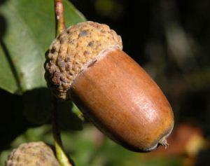 خواص بی نهایت میوه بلوط
