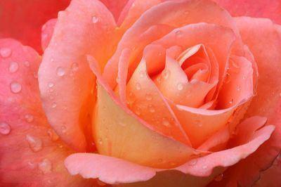 عکس گل رز طبیعی با رنگ های متنوع مختلف