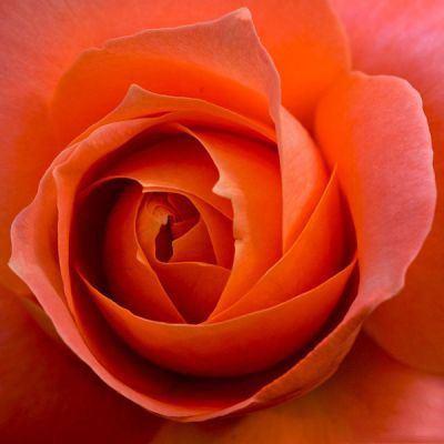 عکس گل رز طبیعی