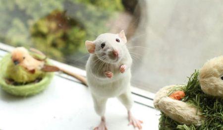 عکس زیباترین موش های خانگی
