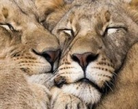 تصاویری از عشق بازی حیوانات جنگل