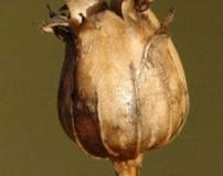 خواص سنتی و دارویی گیاه چوبک