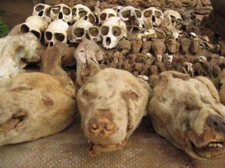 فروش اسکلت جمجمه حیوانات برای افراد خرافاتی + تصاویر