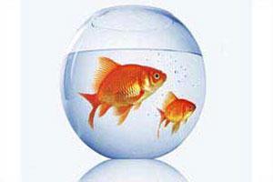 هوش ماهی قرمز از انسان بیشتر است