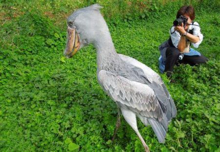 لک لک نیل پرنده غول پیکر بازمانده از زمان دایناسورها + تصاویر