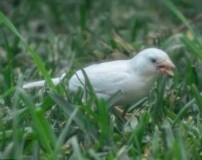گنجشک سفید غریب ترین پرنده دنیا