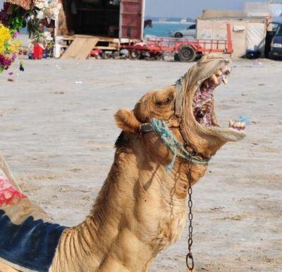 عکس های جالب از داخل دهان شتر