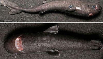 کوچکترین کوسه جهان به طول 15 سانتی متر (عکس)