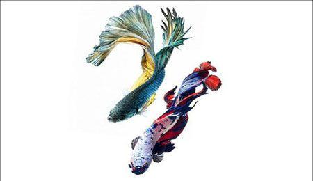 عکس انواع مختلف ماهی آکواریومی گوپی