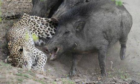 سه گراز در جنگل پلنگ را زنده زنده خوردند + تصاویر
