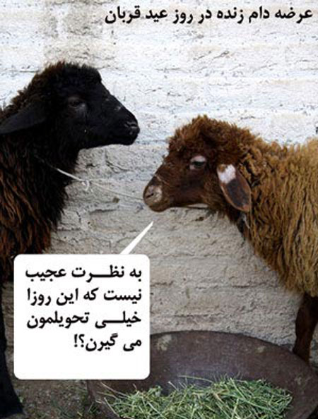 عکس های خنده دار حرف های گوسفندان در عید قربان
