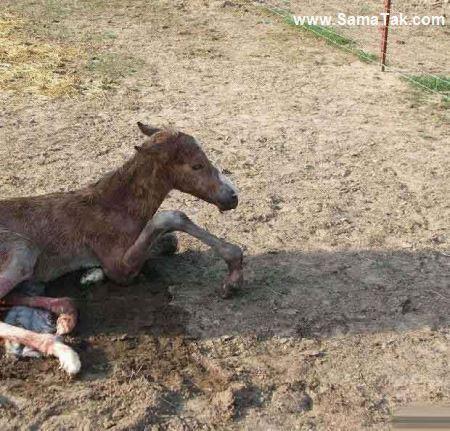 زایمان طبیعی اسب ماده (20 عکس)