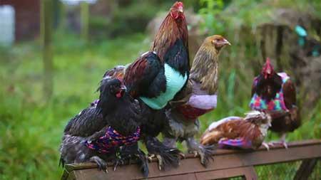 بافت ژاکت و لباس گرم برای مرغ و خروس های پیر + تصاویر