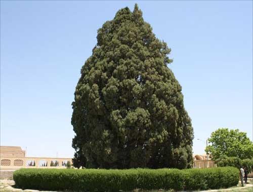 قدیمی ترین درخت ایران که پسر نوح آنرا کاشته است