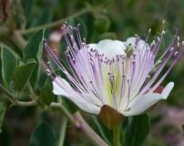 خواص دارو درمانی گیاه کبر + طرز تهیه ترشی کبر