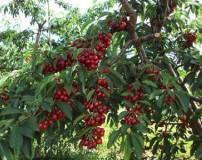 ارزش غذایی و خواص میوه گیلاس