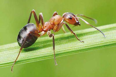 مورچه و هر آنچه می خواهید درباره اش بدانید