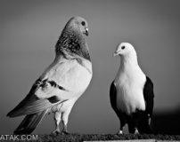 کبوتر با کبوتر باز با باز (ضرب المثل)