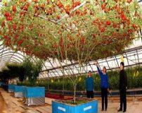 درخت گوجه فرنگی رکورد دار گینس !