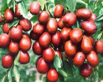درخت عناب را چگونه در خانه پرورش دهیم