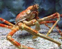 خرچنگ بزرگ و غول پیکر ژاپنی که شکل عنکبوت است