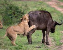 کلیپ زنده زنده خوردن بوفالو توسط 3 شیر نر