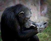 عکس های میمون بامزه ای که روزی یک پاکت سیگار می کشد