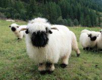 عکس های گوسفندان پشمالو و خوشگل در چراگاه سوئیس