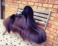 عکس های زیباترین سگ افغانی با موهای بلند