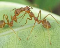 تصاویر جالب زندگی مورچه ها از نمای نزدیک