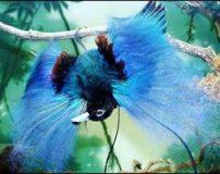 تصاویر زیبای رقص عاشقانه یک پرنده بهشتی
