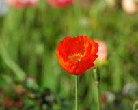 تصاویر فوق العاده زیبا از دره گل های خشخاش در آمریکا