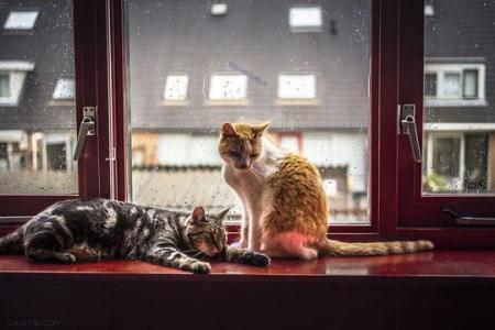 عکس گربه های زیبا و خانگی در پشت پنجره های باران زده