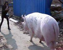 بزرگترین خوک جهان یک تن وزن دارد + تصاویر