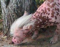 عکس های وحشتناک ترین حیوان دنیا با بدن صورتی