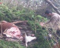 یوزپلنگ وحشی به تعدادی گاو در نوشهر حمله کرد + تصاویر