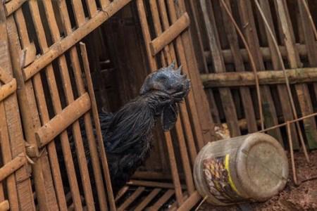 خروس سیاه پوست گونه ای کمیاب در دنیا + تصاویر