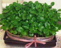طرز تهیه انواع سبزه نا ویژه عید نوروز