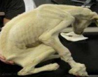 ضعیف ترین سگ جهان با وزن 3 کیلوگرم + تصاویر