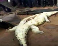 بیرون کشیدن جسد پسر بچه از شکم تمساح (تصاویر 18+)