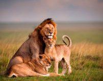 دانستنی های مهم درباره شیر سلطان جنگل