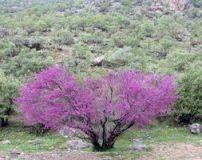 زیبای شکوفه های درختچه های ارغوان در بوشهر