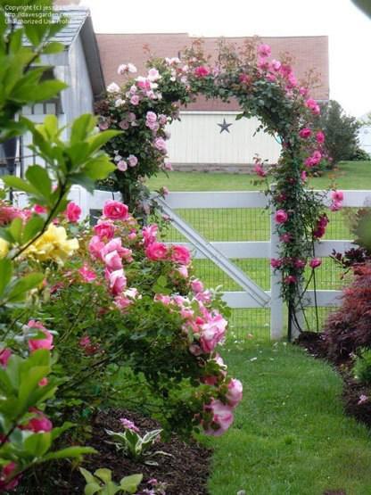 مدل های گل رز بالا رونده در تزیین باغچه